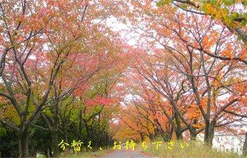 200911-桜並木紅葉.jpg